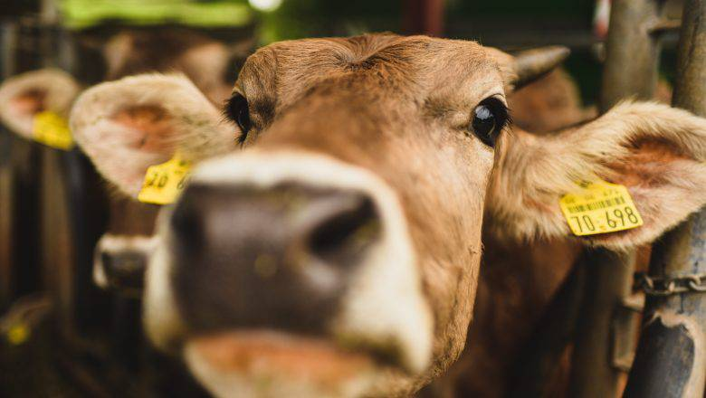 Cattle Farming Business Plan Template