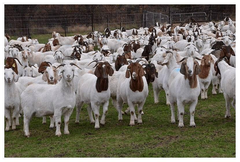 Goat-Farming-business