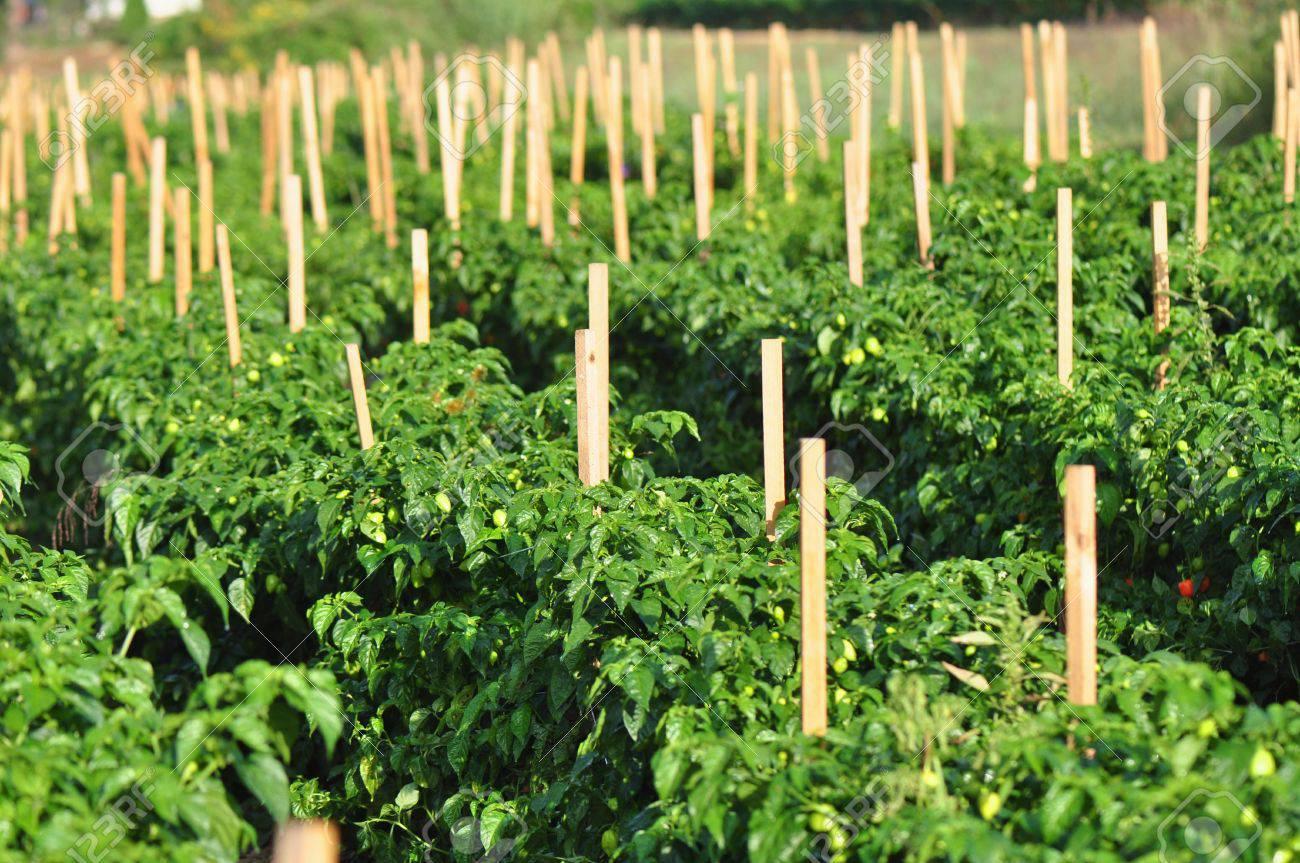 fountain-pepper-farm-business-plan-template