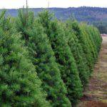 Christmas tree farm business plan